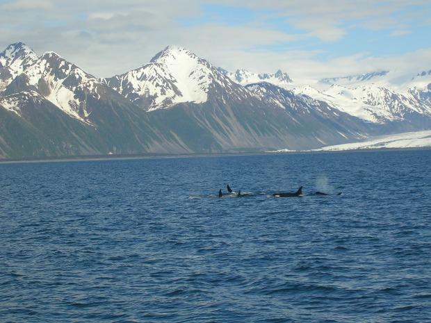 Pod of Orcas in Resurrection Bay
