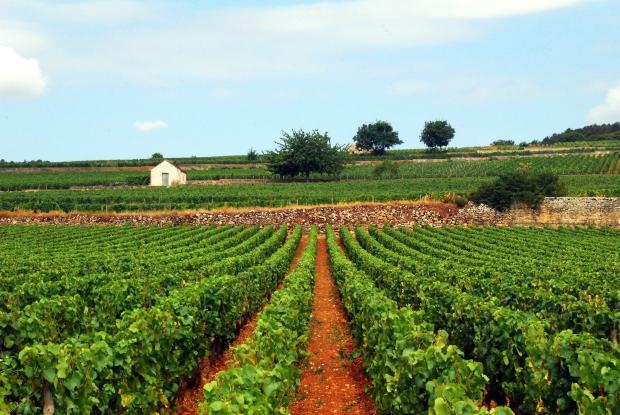 Where to go in France: Biking Through Vineyards in Burgundy - www.AFriendAfar.com